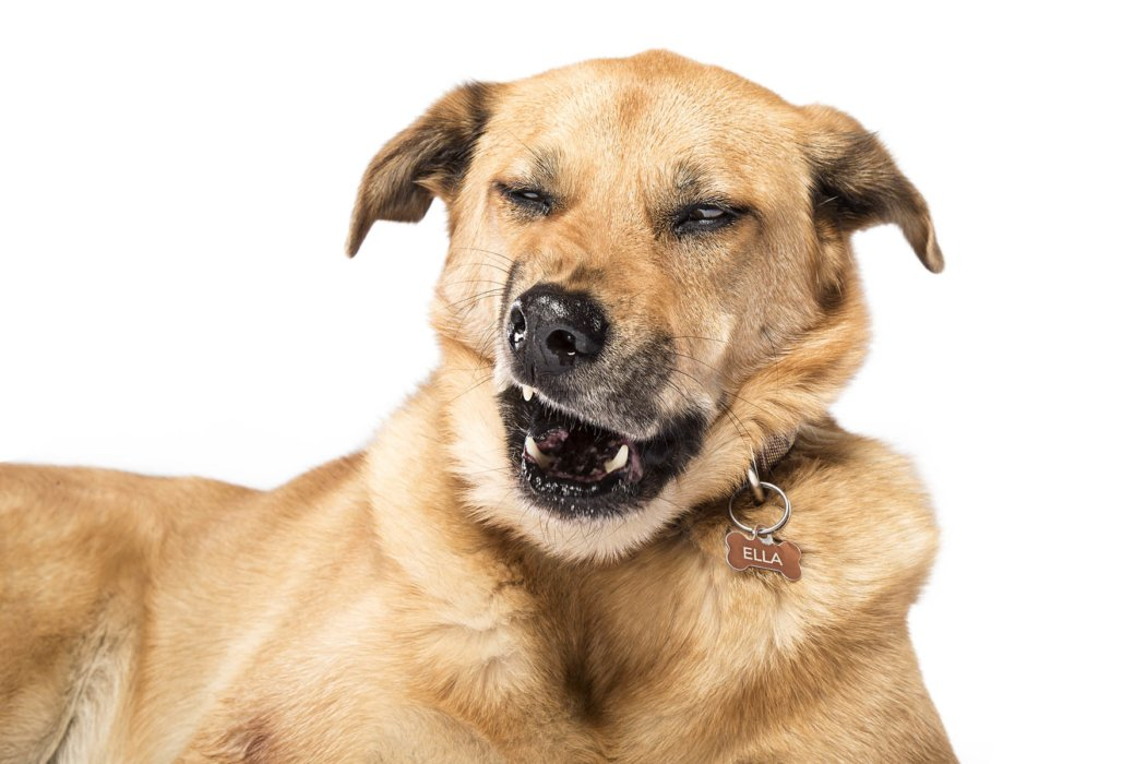 Mutt about to sneeze