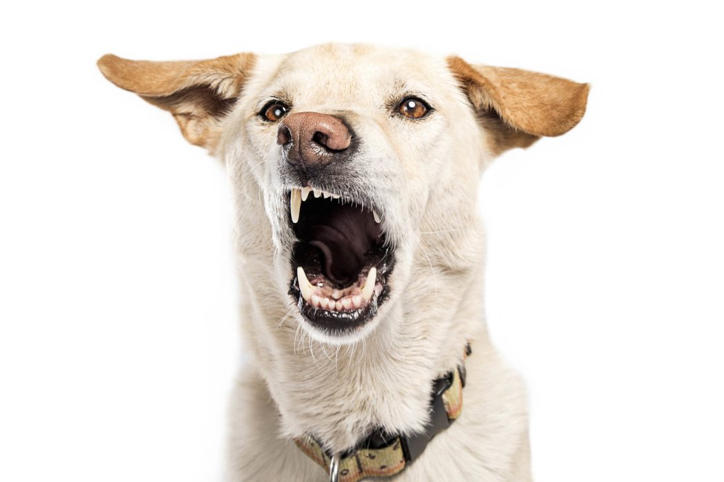 lab mouth wide open