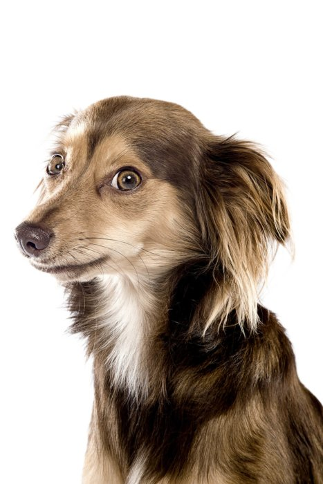 profile view of small dog