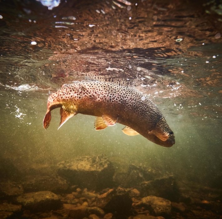 A river fish moving through a current