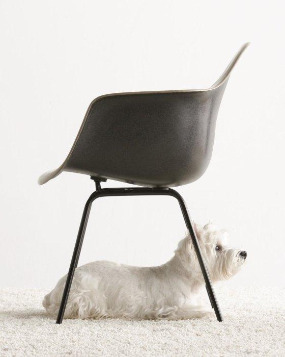 Dog crouching under chair