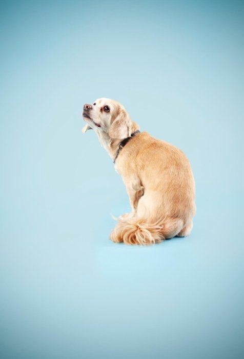 Dog portrait on blue