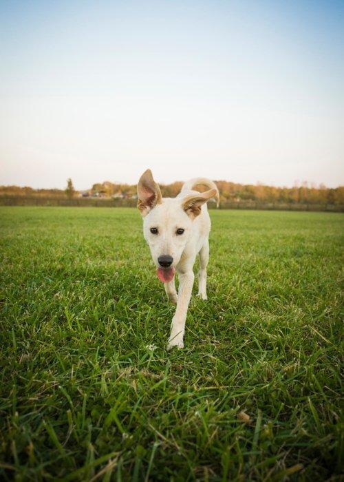 Blonde dog in a green grass field