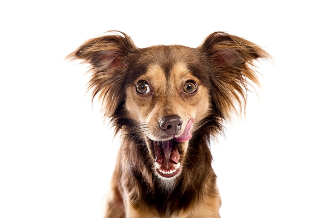 A dog licking lips on a white background