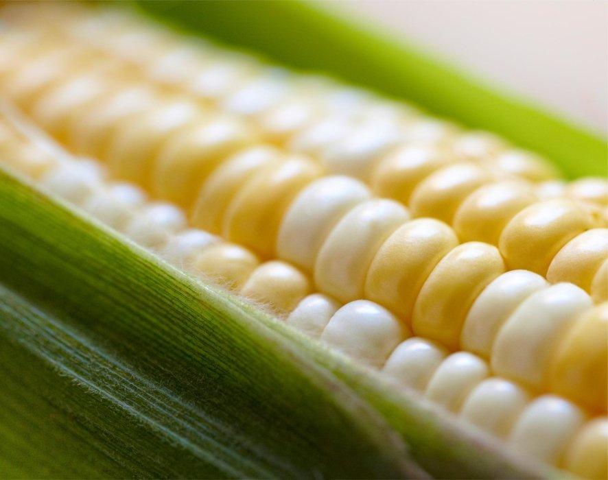 Raw corn on the cob close up