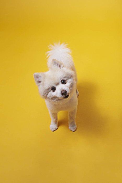 small white dog looking at camera