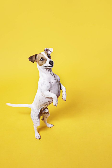 Small dog with paws up on yellow background
