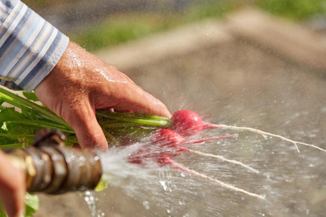 Raw fresh radishes being washed