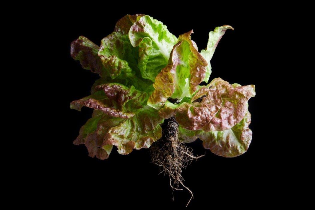 Raw red Boston leaf lettuce on a black background