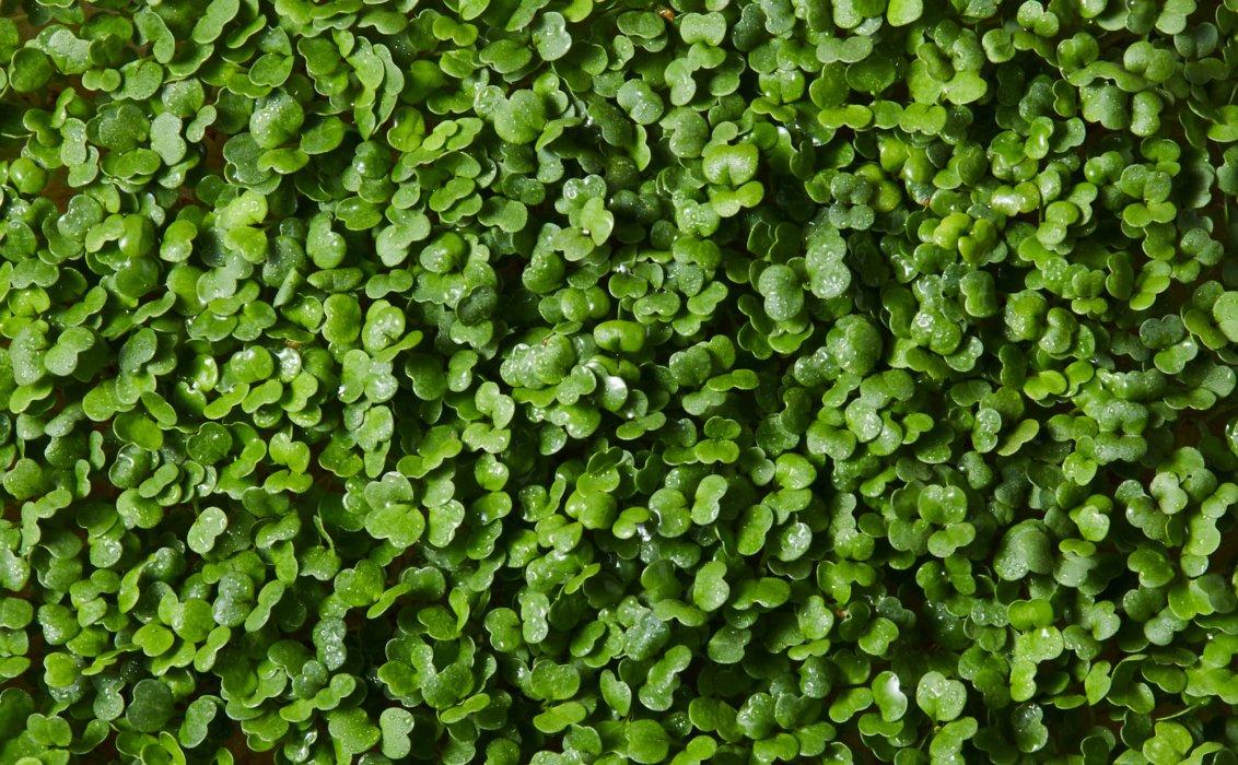 micro greens close up - Raw Food Photography