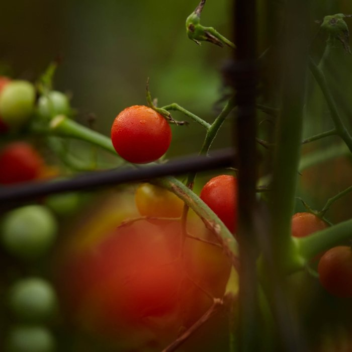 outside growing fresh red tomatoes on vines