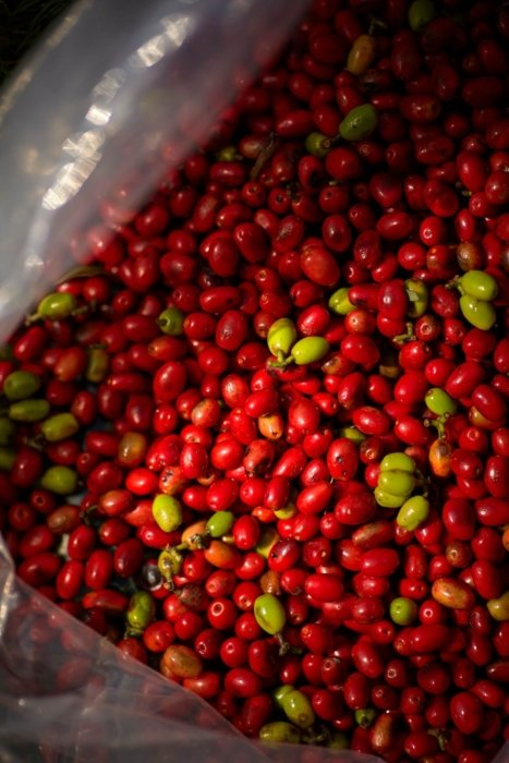 buckets of fresh red and green cransberries