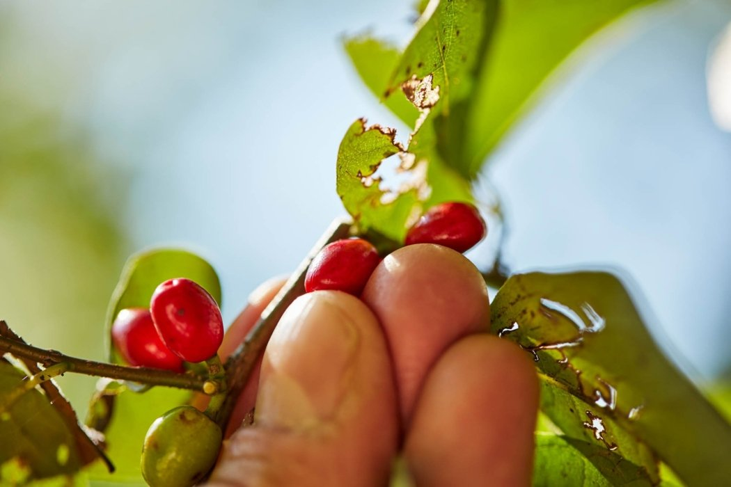 up close outside worker picking out red berries