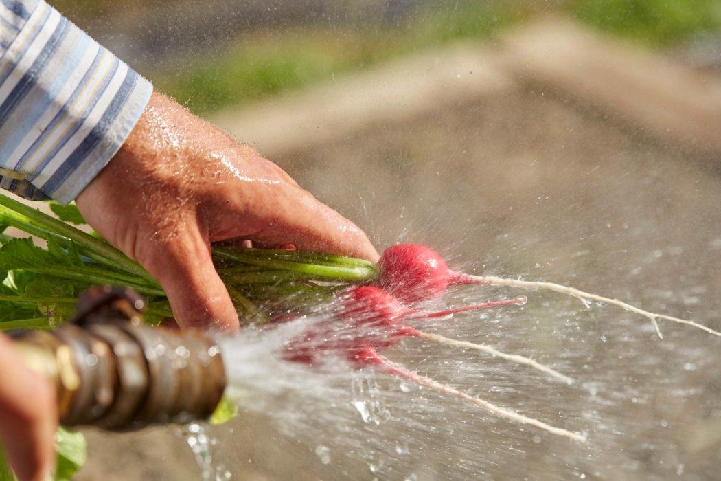 Worker spraying on the fresh natural food radish