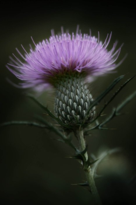 A purple thistle flowering in the edge of Appalachia - Nature Photography