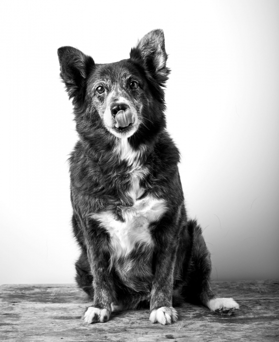Portrait of a dog on a white background and wood surface - dog photography